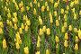 Желтые тюльпаны, фото № 578395, снято 8 мая 2008 г. (c) Cветлана Гладкова / Фотобанк Лори