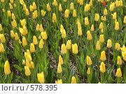 Купить «Желтые тюльпаны», фото № 578395, снято 8 мая 2008 г. (c) Cветлана Гладкова / Фотобанк Лори
