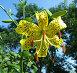Желтая тигровая лилия, фото № 579319, снято 15 июля 2006 г. (c) Корчагина Полина / Фотобанк Лори