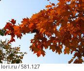 Осенние листья. Стоковое фото, фотограф Наталья Ничепорук / Фотобанк Лори