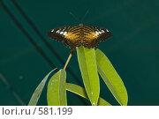 Купить «Тропическая бабочка Parthenos silvia, сидящая на листьях», фото № 581199, снято 28 октября 2008 г. (c) Эдуард Межерицкий / Фотобанк Лори