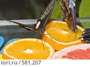 """Купить «Тропические бабочки семейства Papilio lowi (""""Ласточкин хвост"""") и отряда Caligo (Калиго) кормятся на дольках апельсина», фото № 581207, снято 28 октября 2008 г. (c) Эдуард Межерицкий / Фотобанк Лори"""