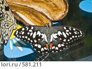 """Купить «Тропическая бабочка семейства Papilio demoleus (""""Парусник лимонный"""") кормится на ломтике банана», фото № 581211, снято 28 октября 2008 г. (c) Эдуард Межерицкий / Фотобанк Лори"""