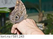 Купить «Тропическая бабочка отряда Caligo (Калиго), сидящая на мужской руке», фото № 581243, снято 28 октября 2008 г. (c) Эдуард Межерицкий / Фотобанк Лори
