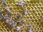 Жизнь насекомых. Превращение нектара в мед пчелами, фото № 582939, снято 16 августа 2008 г. (c) Андрей Давиденко / Фотобанк Лори