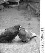 Купить «Ухаживание голубя», фото № 584011, снято 15 августа 2018 г. (c) Андреев Александр / Фотобанк Лори