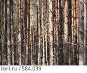 Купить «Сосновый лес крупным планом», фото № 584039, снято 1 августа 2008 г. (c) Андреев Александр / Фотобанк Лори