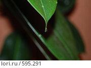 Купить «Капля на листе», фото № 595291, снято 5 февраля 2008 г. (c) Кирилл Федорин / Фотобанк Лори