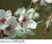 Купить «Цветение плодовых деревьев», фото № 600635, снято 12 мая 2005 г. (c) Сергей Бехтерев / Фотобанк Лори