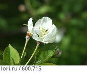 Купить «Цветение весной плодовых деревьев», фото № 600715, снято 19 мая 2005 г. (c) Сергей Бехтерев / Фотобанк Лори