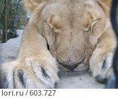 Спящий лев в Ялтинском зоопарке. Стоковое фото, фотограф Минакова Татьяна / Фотобанк Лори