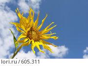 Купить «Подсолнух на фоне голубого неба», фото № 605311, снято 27 июля 2008 г. (c) Cветлана Гладкова / Фотобанк Лори