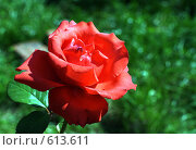 Купить «Красная роза на зеленом фоне», фото № 613611, снято 13 декабря 2018 г. (c) Александр Савушкин / Фотобанк Лори