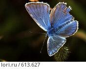 Купить «Plebejus argus - Голубянка Аргус, самец», фото № 613627, снято 16 сентября 2019 г. (c) Александр Савушкин / Фотобанк Лори
