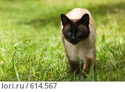 Купить «Сиамский кот», фото № 614567, снято 13 июня 2008 г. (c) Алексей Крылов / Фотобанк Лори