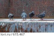 Городские голуби в фонтане. Стоковое фото, фотограф A Большаков / Фотобанк Лори
