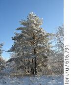 Группа сосен на опушке зимнего леса. Стоковое фото, фотограф Александр Новиков / Фотобанк Лори