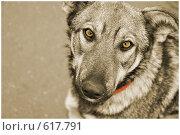 Купить «Пёс», фото № 617791, снято 28 ноября 2008 г. (c) Ирина Литвин / Фотобанк Лори