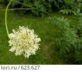 Купить «Белый цветок», фото № 623627, снято 9 июля 2008 г. (c) Наталья Груздева / Фотобанк Лори