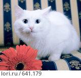 Купить «Кошка с герберой», фото № 641179, снято 3 ноября 2008 г. (c) Юрий Шаньшин / Фотобанк Лори