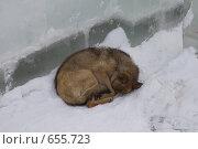 Купить «Спящая на снегу собака», фото № 655723, снято 11 января 2009 г. (c) Тимур Ахмадулин / Фотобанк Лори