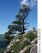 Дерево на скале. Стоковое фото, фотограф Алексей Ледовской / Фотобанк Лори