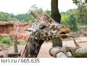 Жираф. Стоковое фото, фотограф Сергей Яковлев / Фотобанк Лори