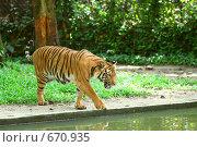 Купить «Тигр у водоема (Panthera tigris)», фото № 670935, снято 23 марта 2008 г. (c) Татьяна Белова / Фотобанк Лори