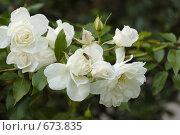 Купить «Белые розы», фото № 673835, снято 16 октября 2007 г. (c) Игорь Шаталов / Фотобанк Лори