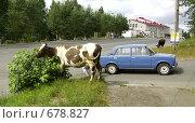 Купить «Коровы в городе», фото № 678827, снято 28 июля 2008 г. (c) Дмитрий Лемешко / Фотобанк Лори