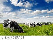 Купить «Коровы на поле», фото № 689131, снято 25 сентября 2008 г. (c) Евгений Захаров / Фотобанк Лори