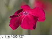 Купить «Ярко-красный цветок гвоздики», фото № 695727, снято 13 июля 2008 г. (c) Андрей Ильин / Фотобанк Лори