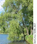 Купить «Плакучая ива на берегу реки, лето», фото № 698307, снято 14 мая 2008 г. (c) Татьяна Баранова / Фотобанк Лори