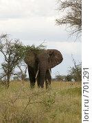 Купить «Слон в национальном парке. Африка.», фото № 701291, снято 5 января 2009 г. (c) Алексей Зарубин / Фотобанк Лори