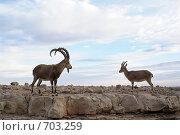 Купить «Безоаровый козел и коза / бородатый козёл /Capra aegagrus», фото № 703259, снято 20 декабря 2008 г. (c) Irina Opachevsky / Фотобанк Лори
