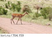 Купить «Импала — африканская антилопа средней величины в национальном парке. Африка.», фото № 704159, снято 3 января 2009 г. (c) Алексей Зарубин / Фотобанк Лори