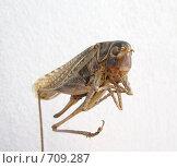 Купить «Засушенная саранча», фото № 709287, снято 6 января 2009 г. (c) Олег Хархан / Фотобанк Лори