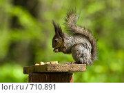 Купить «Белка (Sciurus vulgaris)», фото № 710891, снято 15 мая 2007 г. (c) Василий Вишневский / Фотобанк Лори