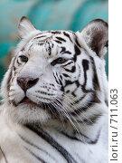 Купить «Тигр Бенгальский (белая вариация), Panthera tigris tigris (var. Alba), Bengal tiger», фото № 711063, снято 24 сентября 2008 г. (c) Василий Вишневский / Фотобанк Лори