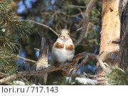 Белка в лесу. Стоковое фото, фотограф Сергей Бахадиров / Фотобанк Лори
