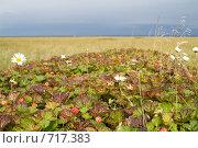 Купить «Морошка в тундре», фото № 717383, снято 9 сентября 2008 г. (c) Ирина Игумнова / Фотобанк Лори