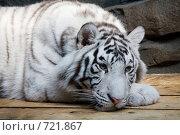 Купить «Белый тигр», фото № 721867, снято 22 февраля 2009 г. (c) Тимофей Косачев / Фотобанк Лори