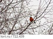 Купить «Снегирь на ветке», фото № 722439, снято 1 февраля 2009 г. (c) Шахов Андрей / Фотобанк Лори