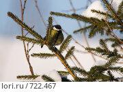 Купить «Синица на ветке ели», фото № 722467, снято 22 февраля 2009 г. (c) Шахов Андрей / Фотобанк Лори