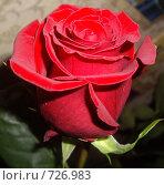 Бархатная роза. Стоковое фото, фотограф Ольга Дарьина / Фотобанк Лори