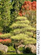 """Сосна в саду Коко-эн (""""Девять садов""""). Химэдзи, Япония (2007 год). Стоковое фото, фотограф Просенкова Светлана / Фотобанк Лори"""