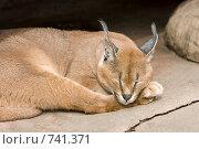 Купить «Каракал, пустынная (степная) рысь (лат. Caracal caracal)», фото № 741371, снято 9 марта 2009 г. (c) Игорь Киселёв / Фотобанк Лори