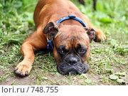 Купить «Грустная собака», фото № 748755, снято 15 июля 2008 г. (c) Olya&Tyoma / Фотобанк Лори