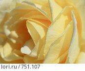 Купить «Роза (лат. Rosa L.)», эксклюзивное фото № 751107, снято 1 мая 2008 г. (c) Juliya Shumskaya / Blue Bear Studio / Фотобанк Лори