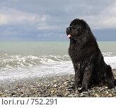 Купить «Большая черная собака породы ньюфаундленд на берегу моря», фото № 752291, снято 15 марта 2009 г. (c) Наталья Обуховская / Фотобанк Лори